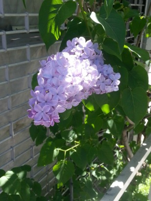 Lilacs in Williamsburg