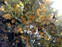 Linden blossoms